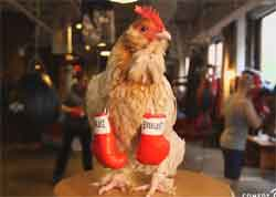 chicken boxing